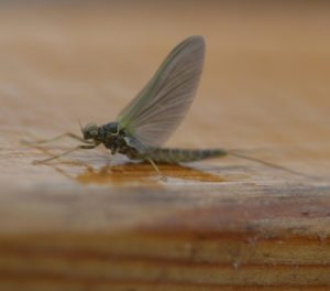 Blue winged olive, trout fly, entymology