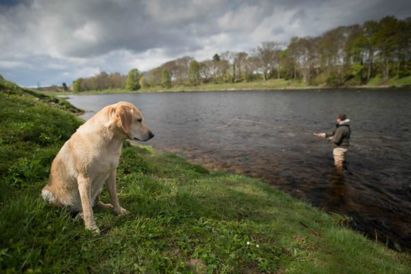 Keely fishing dog, River Tay, salmon guide, scotland, orvis endorsed guide, salmon fishing scotland