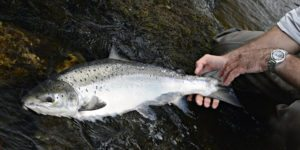 Atlantic salmon, river tweed salmon, scotland salmon fishing, best salmon fishing near Edinburgh