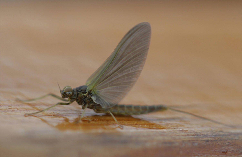 river, entymology, dark olive, trout flies Scotland,