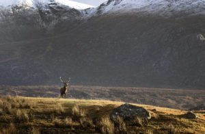 Royal Stag, Highlands, Scotland, Scottish iconic scenery