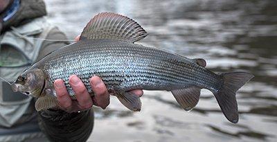grayling fishing, River Tweed, River nymphing, grayling techniques, River Tay, River Annan, Grayling fishing guide, alba game fishing, Orvis UK