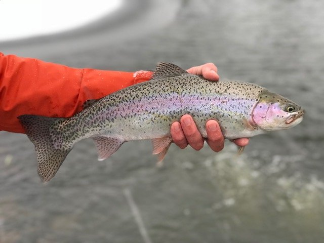 rainbow trout, fishing in Scotland, trout fishing near Edinburgh, best winter trout fishing, Alba Game Fishing