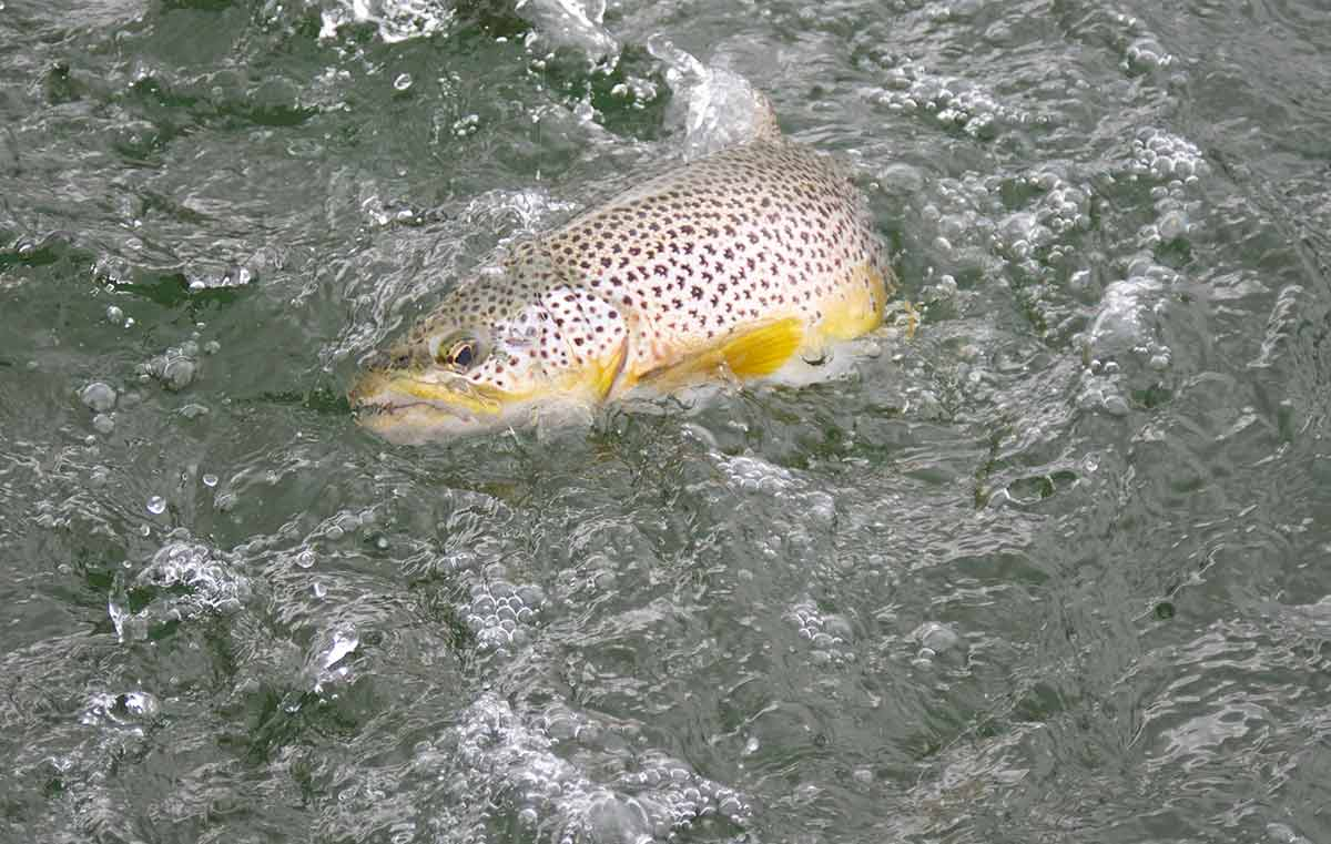 Wild brown trout fishing in scotland orvis guides for Brown trout fly fishing