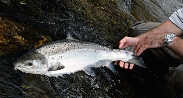 catch & release, salmon Scotland, fishing guide, salmon fishing secrets, how to catch salmon in Scotland, River Tay, Fly Fishing, near Edinburgh, near Glasgow,